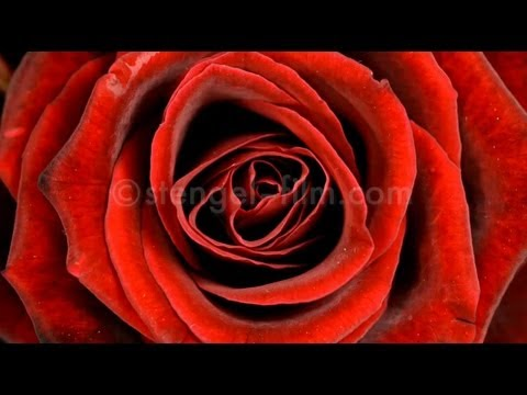 Rose Zeitraffer HD / timelapse HD