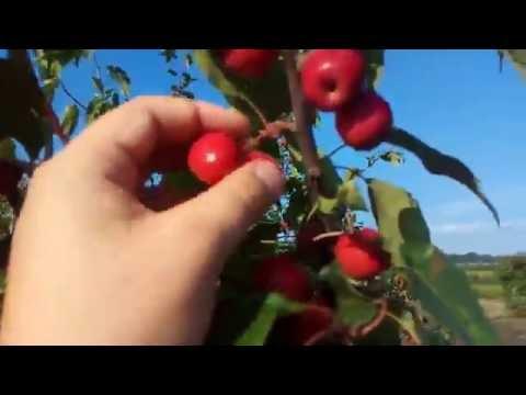 Саженцы карликовых яблонь