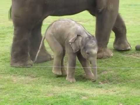 Cute baby elephant-s first steps -and steps on his trunk!