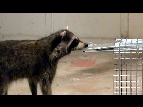 Raccoon avoids trap & escapes thru closed doors!