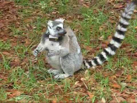 St. Catherines Island Wildlife Survival Center: The Ring-tailed Lemurs