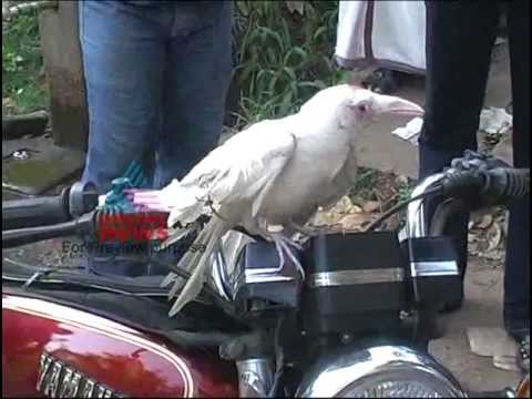 White crow in Kerala