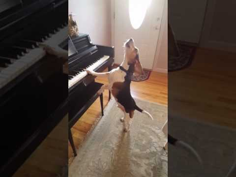 Perro canta y toca piano