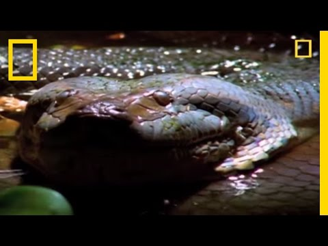 Anaconda Hunts the World's Largest Rodent