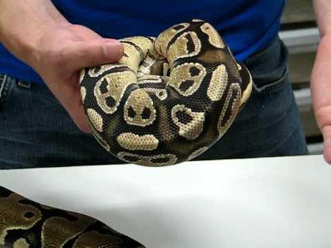 Fire Ball Python