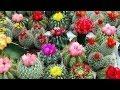 Выращивание кактусов. GuberniaTV
