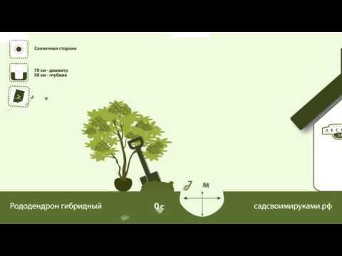 Купить саженцы рододендрона гибридного