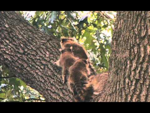 Amazing Raccoon footage from my bedroom window.