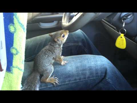 Funny Squirrel Driving Car