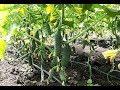 Специальное питание огурцов для цветение , завязи и роста плодов !!!!