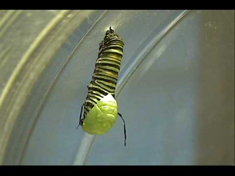 Monarch Metamorphosis - caterpillar to chrysalis in real time