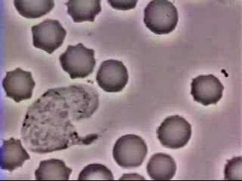 Egotv 187 blog archive video of a white blood cell chasing a bacteria