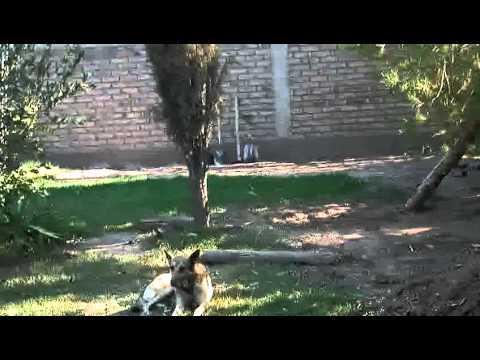 cortando árboles penka
