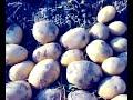 Фрагмент с конца видео Картофель. Сдвоенные ряды под СЕНОМ! 2017.  Potatoes. Double rows under the hay!