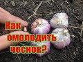 Выращивание чеснока из воздушных луковиц-бульбочек / Как омолодить и реанимировать сорт чеснока