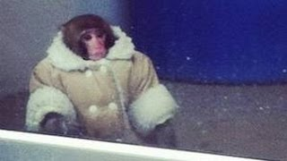 Monkey Wearing Coat Running Loose At IKEA Reaction