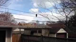 Genius raccoon walks across telephone wires