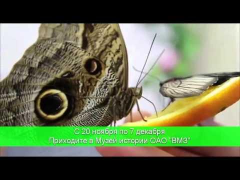Впервые в Выксе выставка «Живые тропические бабочки»
