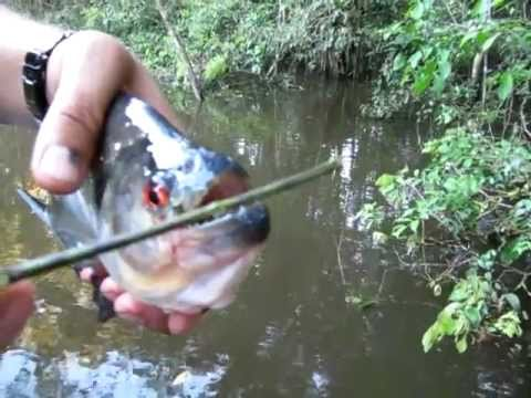 Hiiiii.... sremmmm... ikan piranha Gigit kayu sampe patahhh,, apalagi kalo gigit daging???????? Untung sungai d indonesia masih aman dari piranhaa,, jadi qu bisa mndi d sungaiii.... :P