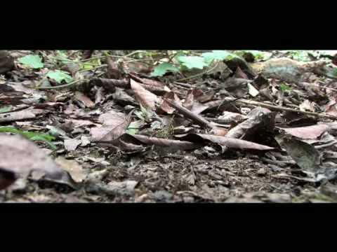 Pavon Bosque de Niebla / Reserva de la Biosfera El Triunfo; Chiapas, Mexico.