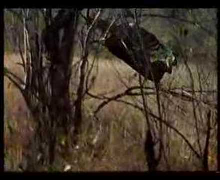 الفهد تمسك الظبى في الجو