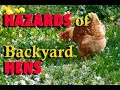 The Hazards of Backyard Hens