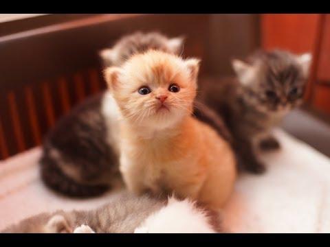 قطط شيرازية صغيرة للبيع 2014 | kittens for sale