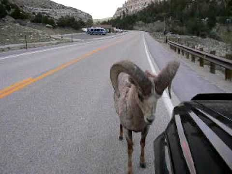 Bighorn Sheep attacks Toyota 4Runner : RAMbunctious