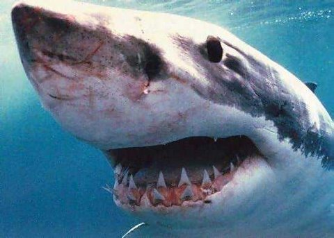 Great White Shark Accident (edited)