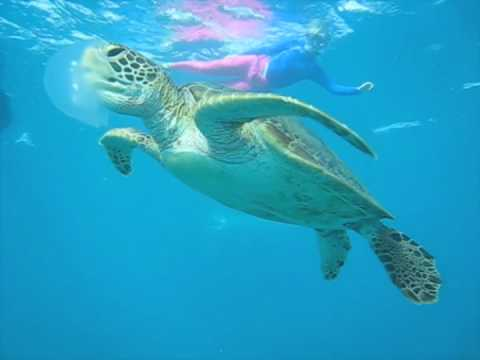 Snorkeling with Turtle Eating Jellyfish Great Barrier Reef.m4v