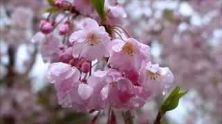Цветение сакуры - HD