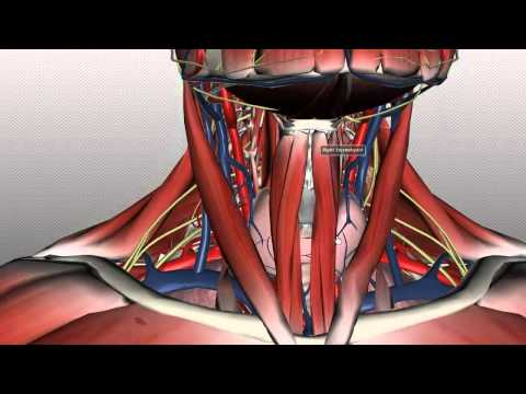Neck Anatomy - Organisation of the Neck - Part 1