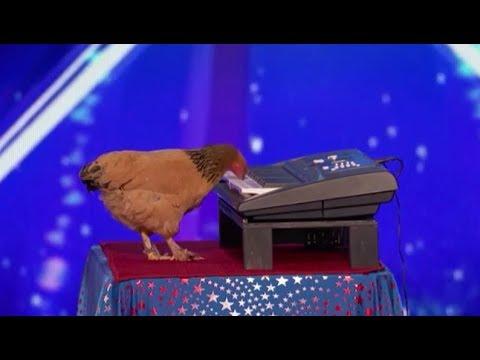 """""""Авъяаслаг Америкчууд"""" шоунд шүүгчдийг алмайруулсан тахиа"""