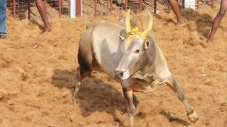 Jallikattu Fame Madurai Appu Bullguard Viral  Video Exclusive News 30-01-2017 online Jallikattu Fame Madurai Appu Bullguard Viral  Video Exclusive Youtube TV News