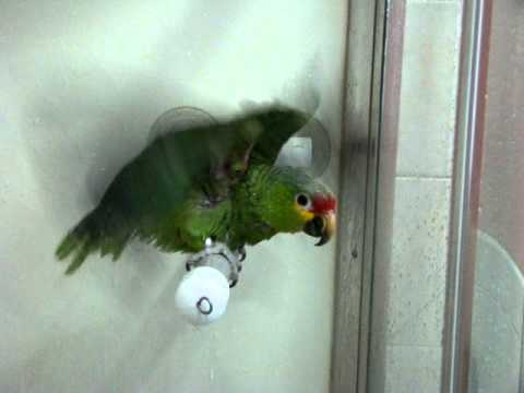 Red Lored Amazon Parrot Calvin taking a shower