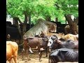 Mating Ongole bull, powerful, doing 8 times in 15 minutes.avi