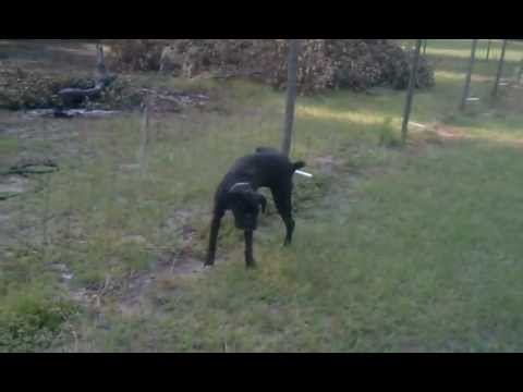 Dog Pees On Electric Fence Viral Viral Videos