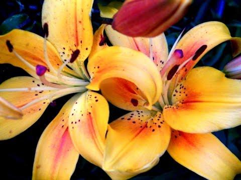 Азиатские лилии купить луковицы