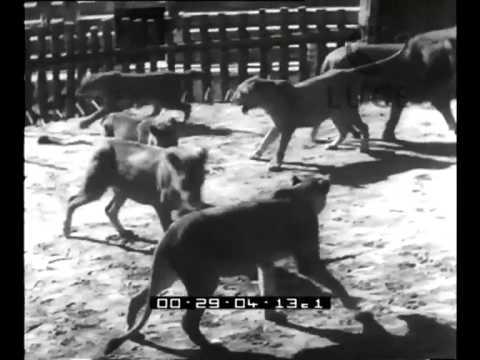 Nel mondo del cinema: anche i leoni fanno i divi.