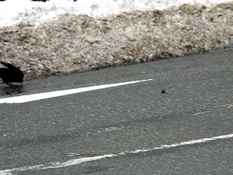 Smart Crow uses cars to crack nuts in Akita, Japan near Senshu Park