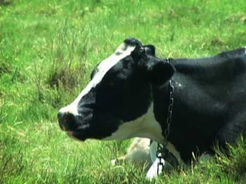 ¿Qué saben las vacas sobre el clima?