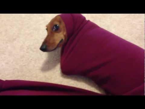 Cute Dachshund Gets Stuck In A Sweater