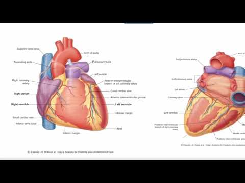 Anatomy 1 | C1 - L10 | Blood & nerve supply of the heart