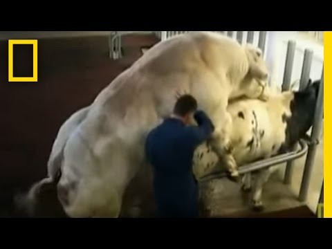 Meet the Super Cow
