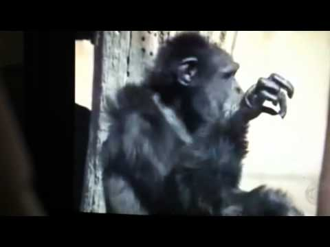 funny monkey smoking jordy funniest monkey video ever