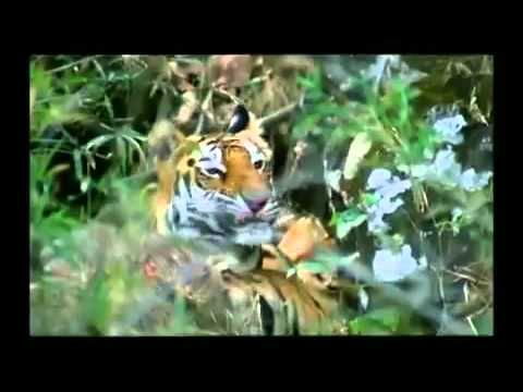 Great Cats of India 1 of 4 , Alphonse Roy  - TIGER, LION, LEOPARD, SNOW LEOPARD