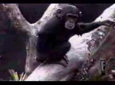 チンパンジーも木から落ちる 好奇心に踊らされた小猿の悲劇