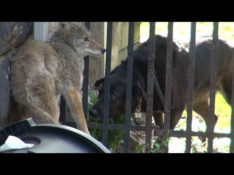 Here's exactly what to do if you encounter a coyote - UCcyq283he07B7_KUX07mmtA