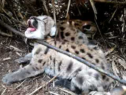 felinos recien nacidos en calakmul