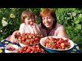 Фрагмент с конца видео Как ухаживать за клубникой после плодоношения.